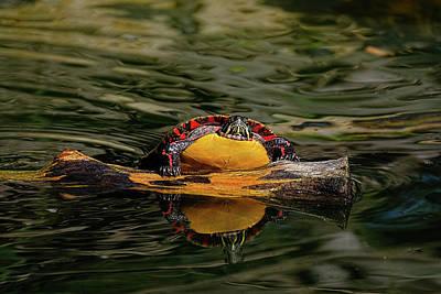 Turtle Taking A Swim Poster