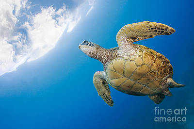 Turtle Turtle Poster by Dave Fleetham - Printscapes