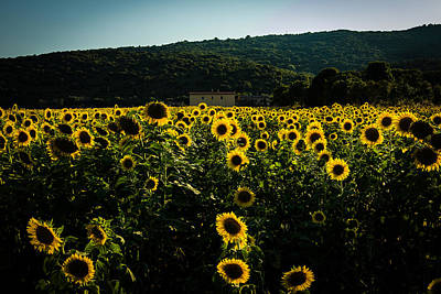 Tuscany - Sunflowers At Sunset Poster
