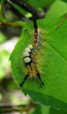 Tussock Moth Mohawk Poster