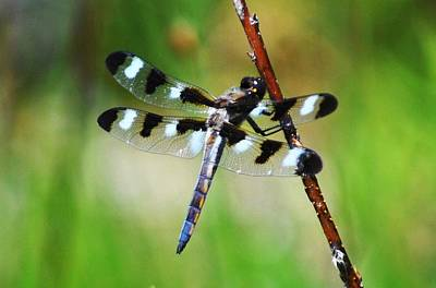 Poster featuring the photograph Twelve Spotted Skimmer by Rodney Campbell