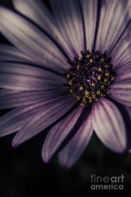 Twilight Daisy Poster by Jorgo Photography - Wall Art Gallery