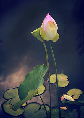 Twilight Lotus Pond Poster