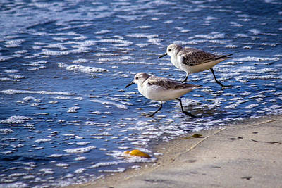Twin Plovers Poster