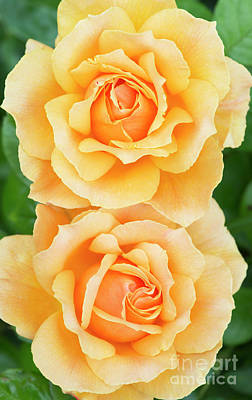 Twin Roses Poster by Tim Gainey