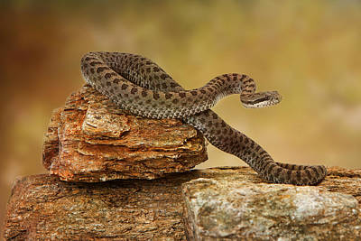 Twin-spotted Rattlesnake On Top Of Rock Poster