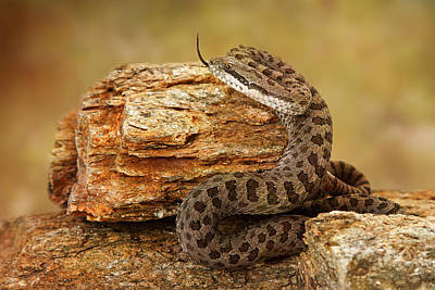 Twin-spotted Rattlesnake With Tongue Out Poster by Susan Schmitz