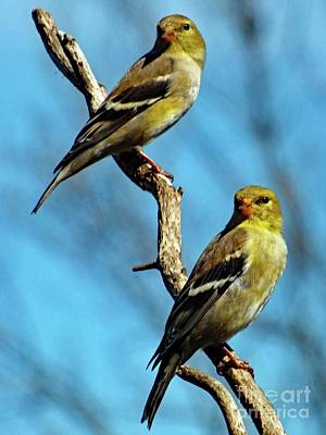 Twins - American Goldfinch Poster by Cindy Treger