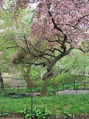 Twisted Cherry Tree In Central Park Poster by Margaret Bobb