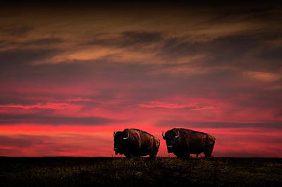 Two American Buffalo Bison At Sunset Poster