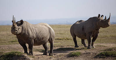 Two Black Rhinos In Solio Rhino Poster by Robin Moore