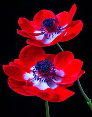 Two Bright Red Anemones Poster by Garry Gay
