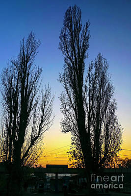 Two Deciduous Trees At Sunset  Poster