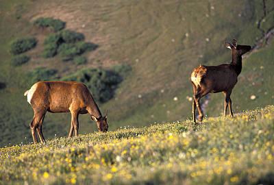 Two Deer Graze On The Alpine Ridge Poster by Richard Nowitz