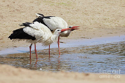 Two Drinking White Storks Poster