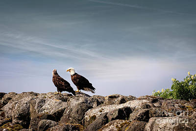 Two Eagles Along A Rocky Shore At Neah Bay In Washington Poster by Brandon Alms