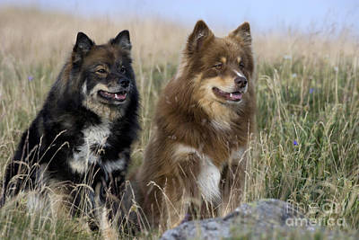 Two Finnish Lapphunds Poster by Jean-Louis Klein & Marie-Luce Hubert