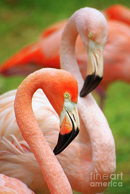 Two Flamingoes Poster by Carlos Caetano