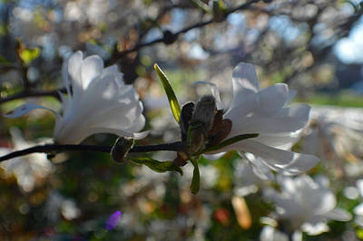 Two Fresh White Mini Magnolias Poster