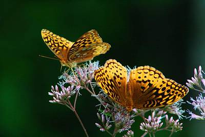 Two Fritillaries Poster by Kathryn Meyer