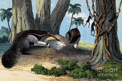 Two Giant Anteaters Feeding On Termites Poster