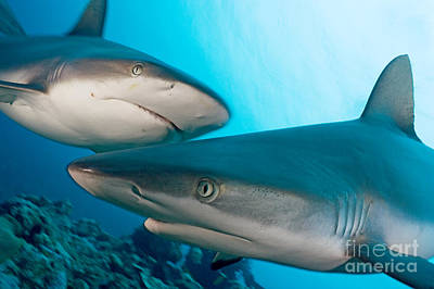 Two Gray Reef Sharks Poster by Dave Fleetham - Printscapes