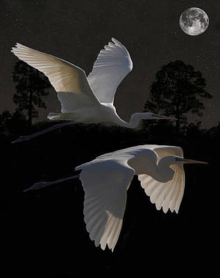 Two Great Egrets In Flight Poster