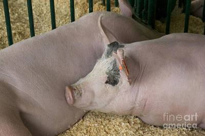 Two Hogs Resting Poster