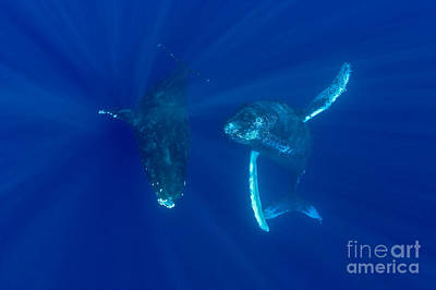 Two Humpback Whales Poster