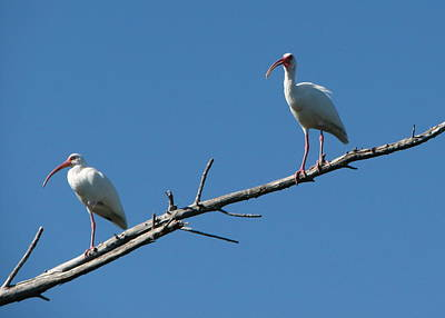 Two Ibis On Perch Poster