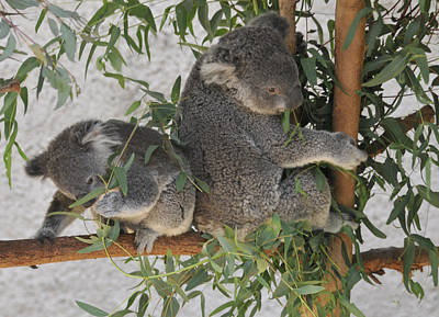 Two Koalas In A Tree Poster by Clarence Alford