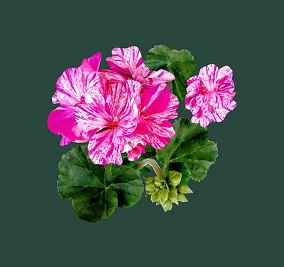 Two Pink And White Striped Geraniums Poster