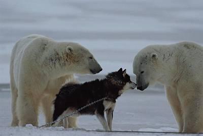 Two Polar Bears Ursus Maritimus Poster by Norbert Rosing