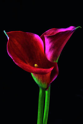 Two Red Calla Lillies Poster by Garry Gay