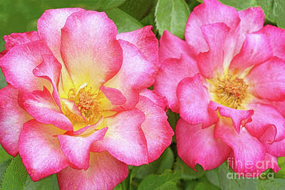Two Roses-rainbow Sorbet Poster