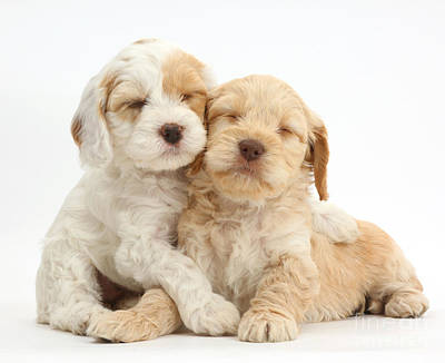 Two Sleepy Cockapoo Puppies Poster