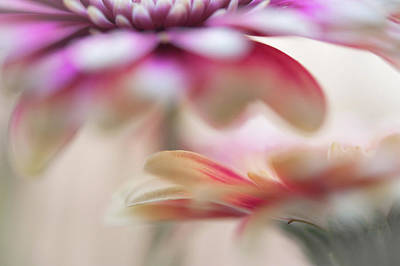 Poster featuring the photograph Two Souls 1. Macro Gerbera by Jenny Rainbow
