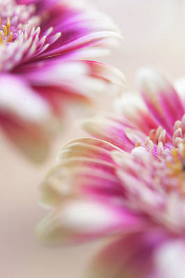 Poster featuring the photograph Two Souls. Macro Gerbera by Jenny Rainbow