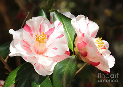 Two Striped Camellias Poster by Carol Groenen