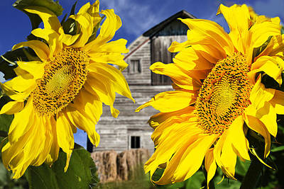 Two Sunflowers Poster by Donald  Erickson