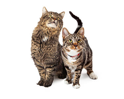 Two Tabby Cats Looking Up Poster by Susan Schmitz