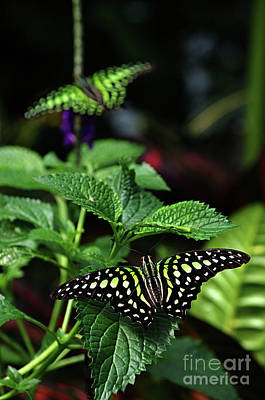 Two Tailed Jay Butterflies- Graphium Agamemnon Poster