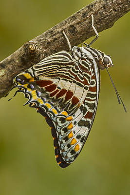Two Tailed Pasha Butterfly Poster