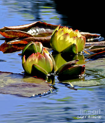 Two Water Lilies Poster by Carol F Austin