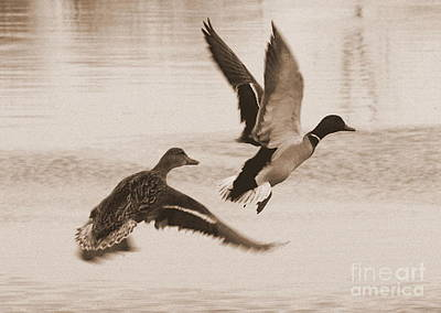 Two Winter Ducks In Flight Poster by Carol Groenen