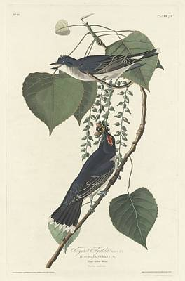 Tyrant Flycatcher Poster by Dreyer Wildlife Print Collections