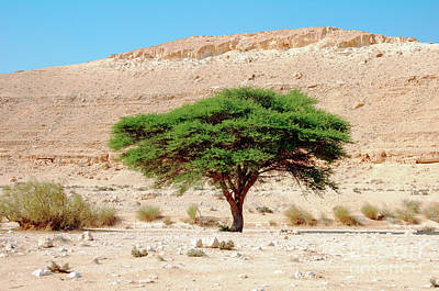 Umbrella Thorn Acacia, Negev Israel Poster