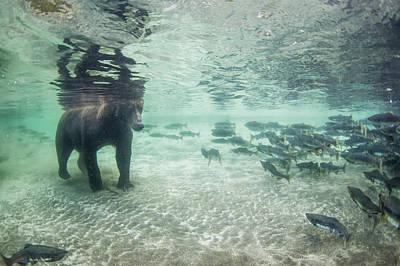 Underwater View Of Coastal Brown Bear Poster by Paul Souders