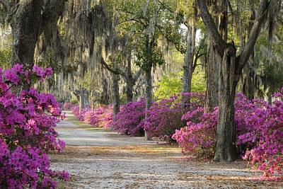 Unpaved Road With Azaleas And Oaks Poster