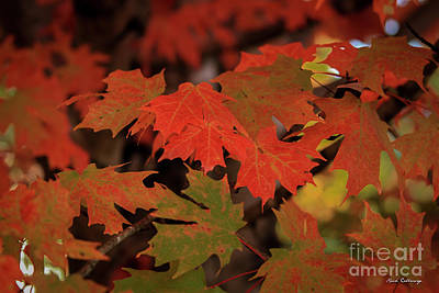 Untouchable Silver Maple Fall Leaf Art Poster by Reid Callaway